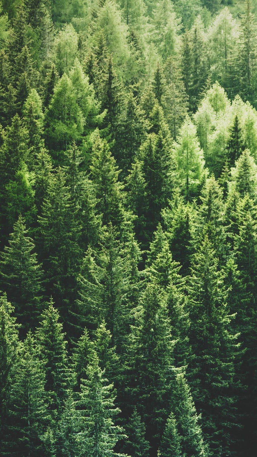 Pin By Anna Stromberg On Asmr Channel Inspo In 2020 Tree Hd Wallpaper Pine Trees Forest Tree Photography