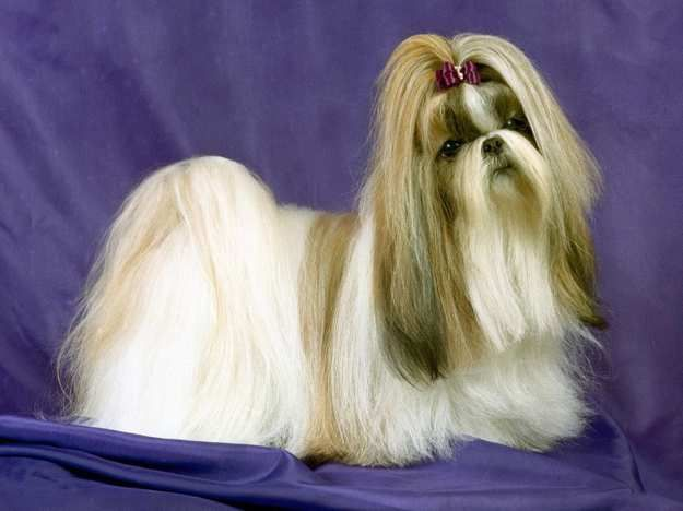The Lhasa Apso 17 Lovely Small Dog Breeds That Don T Shed Lhasa Apso Shih Tzu Lhasa