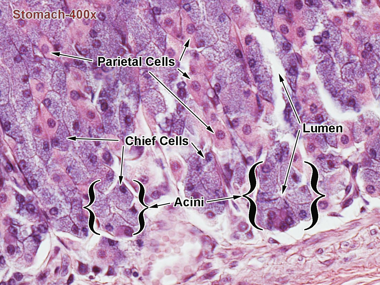 Stomach Histology Labeled Gastric Pits Histology Of The Stomach