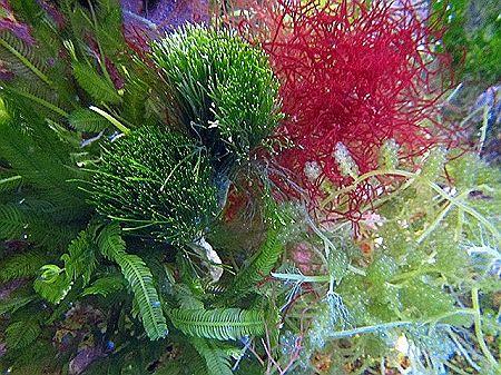 Macro Algae Plant Starter Pack Assorted Plants Starter Pack Algae