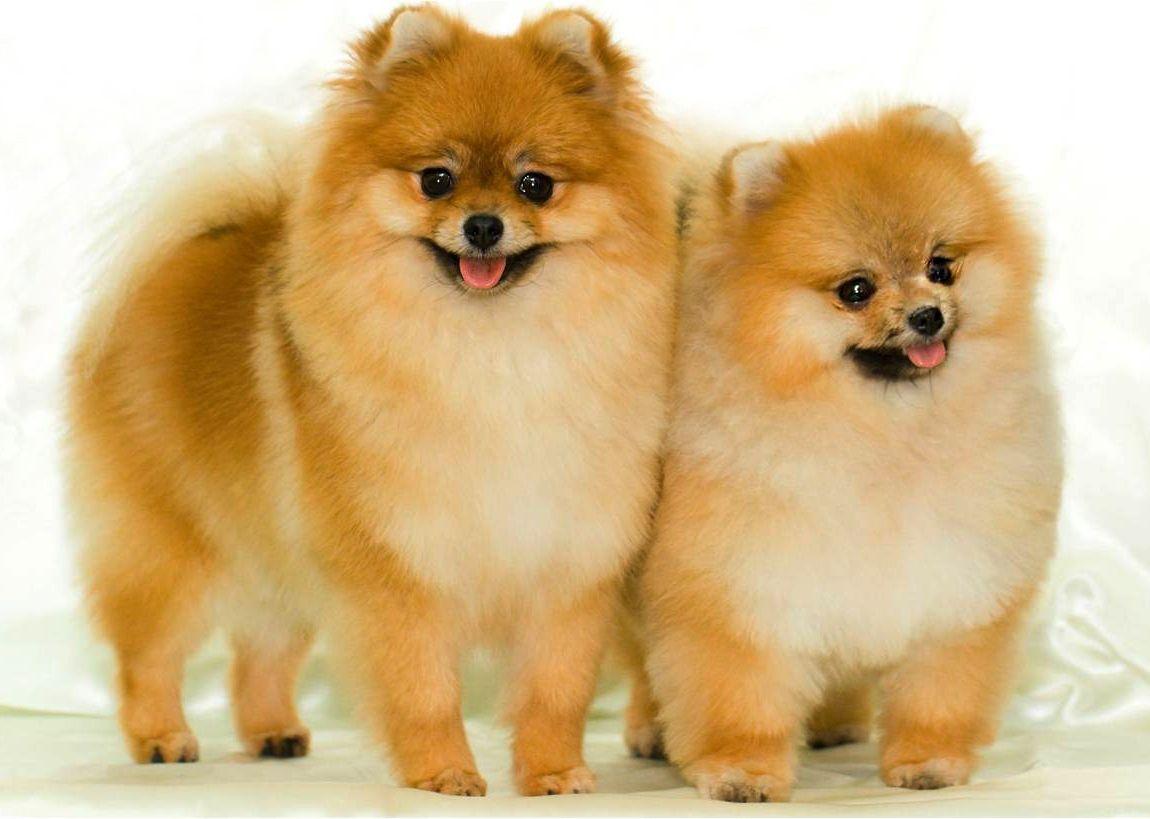 Great Spitz Canine Adorable Dog - d3eae84333e6dd23a4deab7d69704045  2018_109638  .jpg