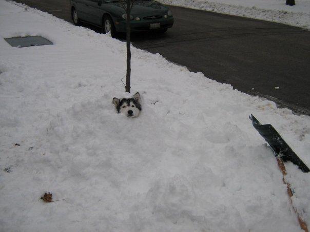 tally husky eleve comme un chat se prend pour un chat 12   un husky élevé comme un chat se prend pour un chat   photo malamute image husky c...