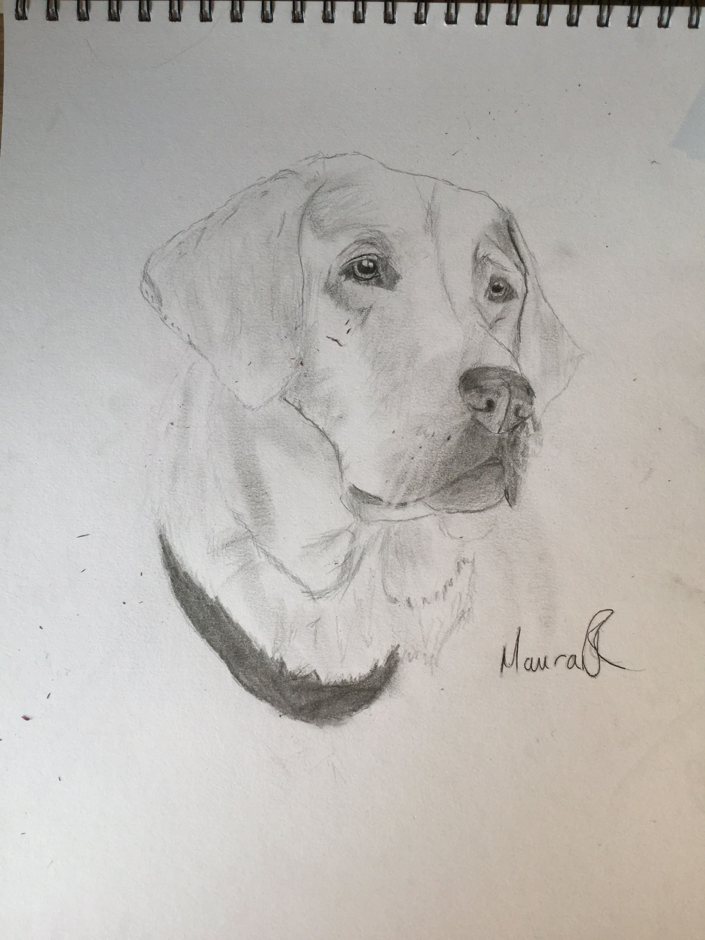 Labrador retriever pencil drawing by maura r