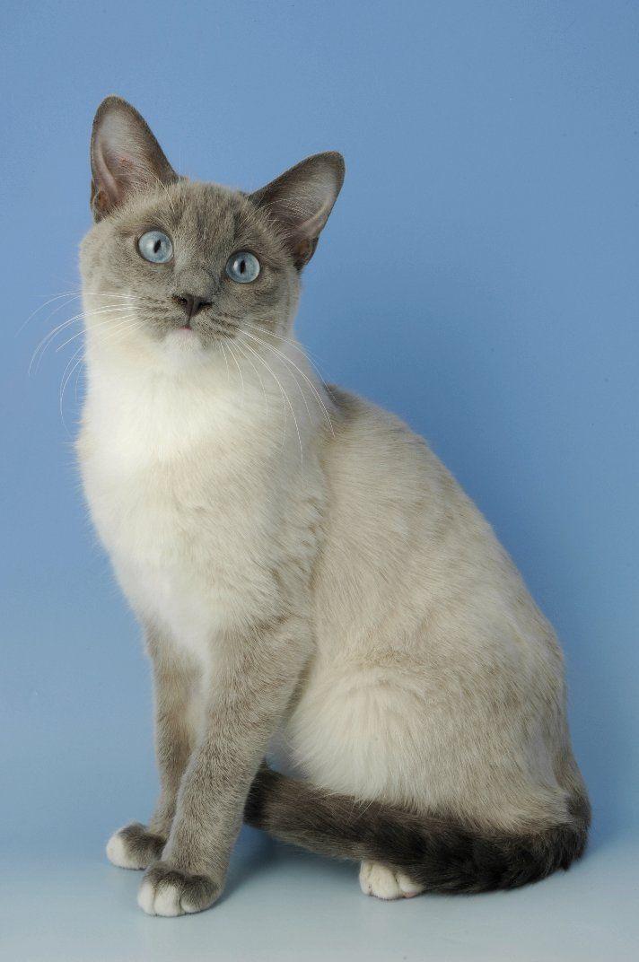Snowshoe Cat Snowshoe Kittens For Sale Snowshoe Cats For Sale