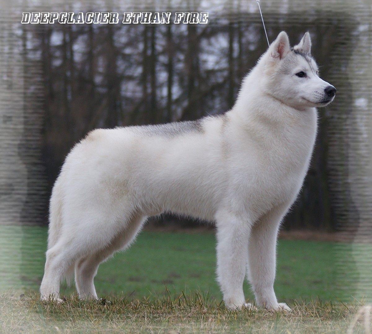 Siberian Husky Kennel Hodowla Eskimoski Domek Siberian Husky