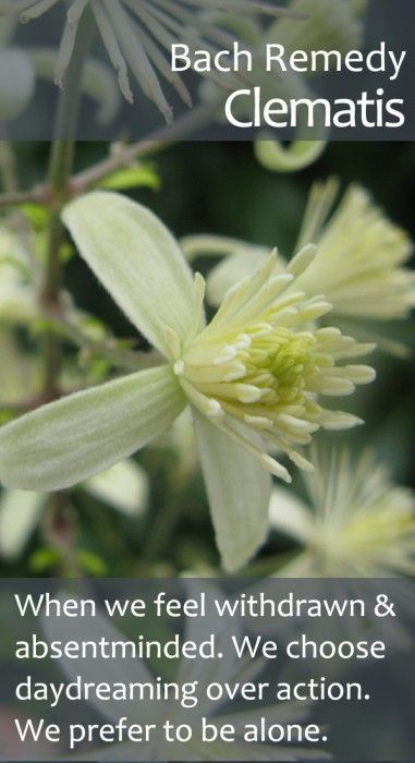 Bach Flower Remedy Clematis Helping Us To Regain Our Vibrancy Purpose And Appetite For Life Whe Bach Flower Remedies Flower Remedy Flower Essences Remedies