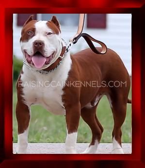 RAISING CAIN KENNELS XXL RED NOSE PITBULL PUPPIES FOR SALE