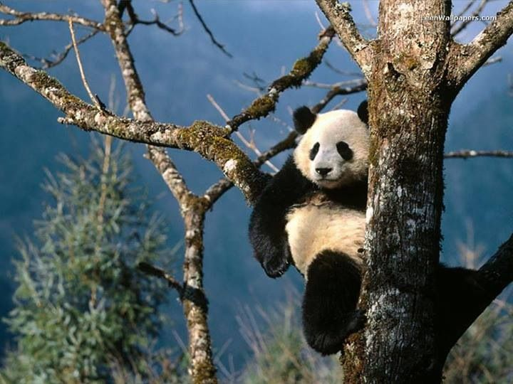 Another Gorgeous Panda Bear Who's Enjoying' His Awesome View From His Fun Tree!