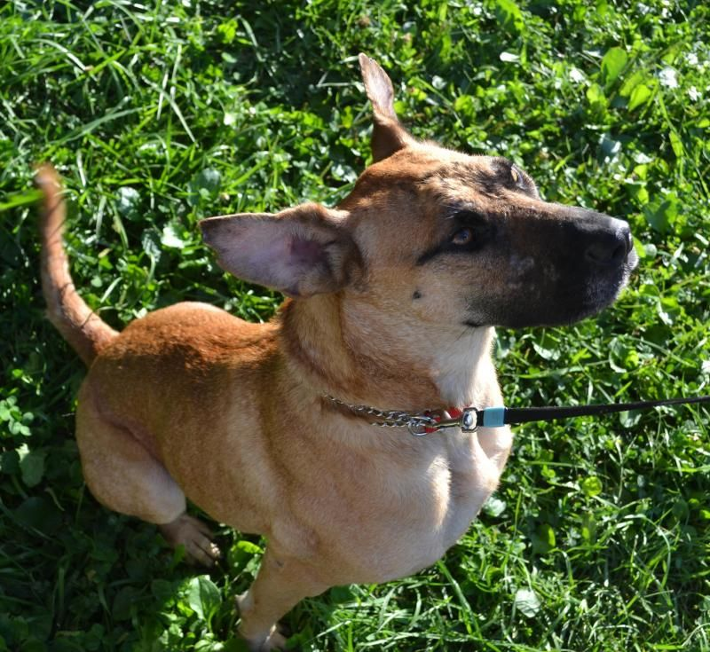 Rosalita is an adoptable German Shepherd Dog searching for a forever family near Kansas City, KS. Use Petfinder to find adoptable pets in your area.