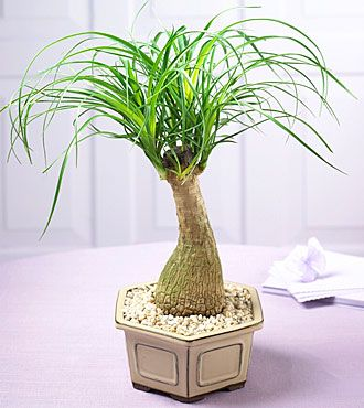 10 Easy To Grow Non Toxic House Plants Pony Tail Palm Plants Indoor Plants