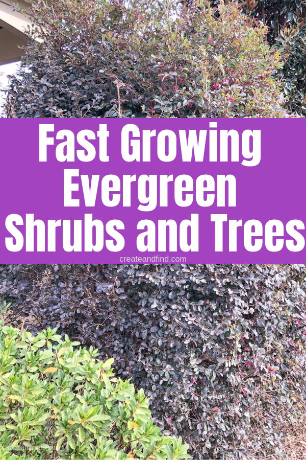 7 Fast Growing Evergreen Trees and Shrubs #privacylandscaping
