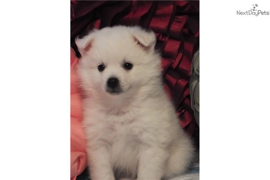 American Eskimo Dog Puppy For Sale Near New Orleans Louisiana
