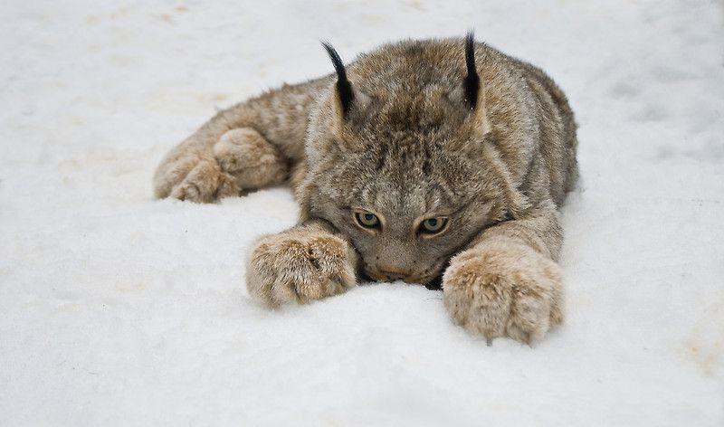 'Lynx in Snow' by Raymond J Barlow.