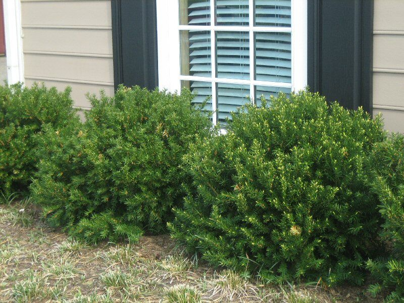 Dense Spreading Yew Google Search Home Style Front Door