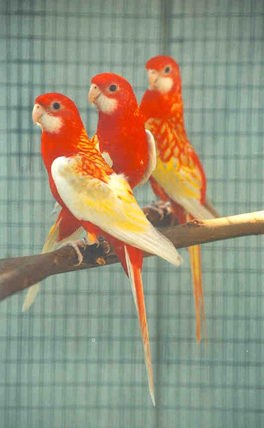 Diluted Gold Mantled Eastern Grass Parrots From Australia