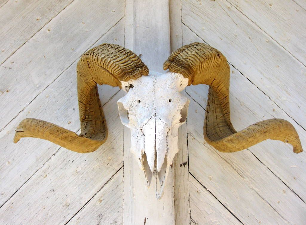 Big Horn Sheep Skull Rustic Weathered Decor 20000 Via Etsy