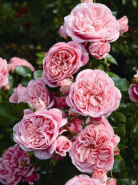 Tipps für den Rosengarten