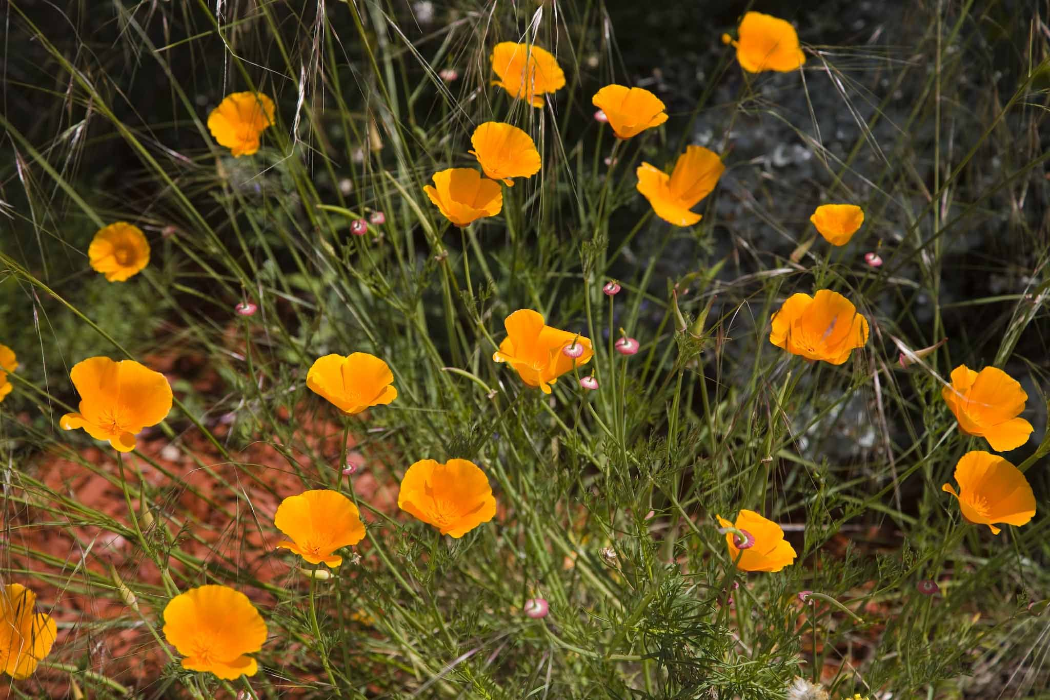 More California Poppies! Gotta love this water-wise golden plant ...