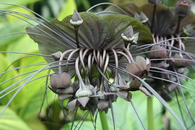 Tacca Chantrieri Commonly Known As The Bat Flower Is Found In Tropical Areas Of Australia Giardino Piante
