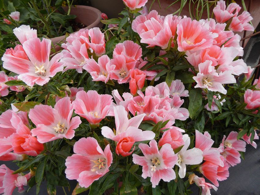 Clarkia Amoena Aurora Farewell To Spring Meadow Garden Drought Tolerant Plants Annual Flowers