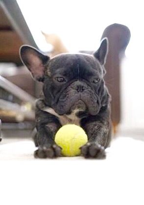 French Bulldog Wanna Play Ball French Bulldog Bulldog Fur Kids