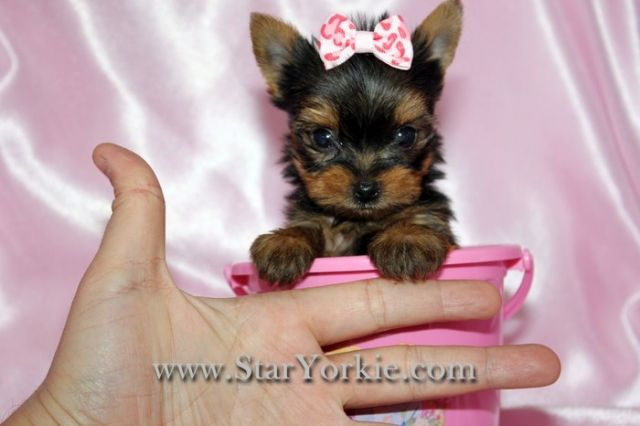 OMG this is the cutest yorkie I have ever seen also from California