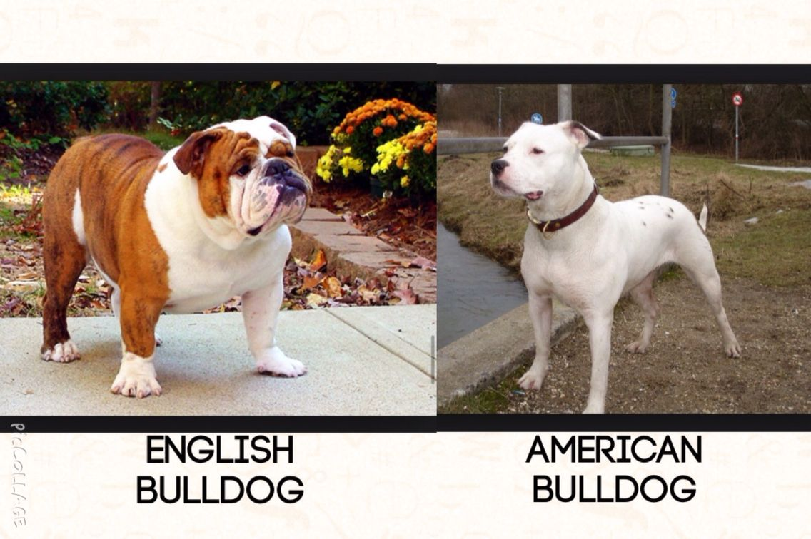 English Bulldog vs American Bulldog American bulldog