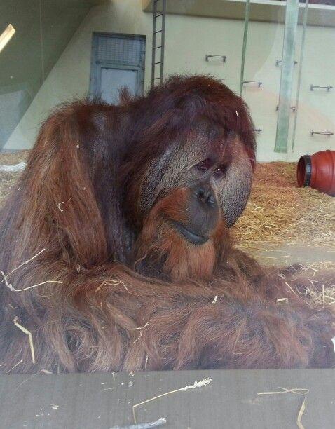 Beautiful Azy Indianapolis Zoo Indiana Usa Indianapolis Zoo Orangutang Orangutan