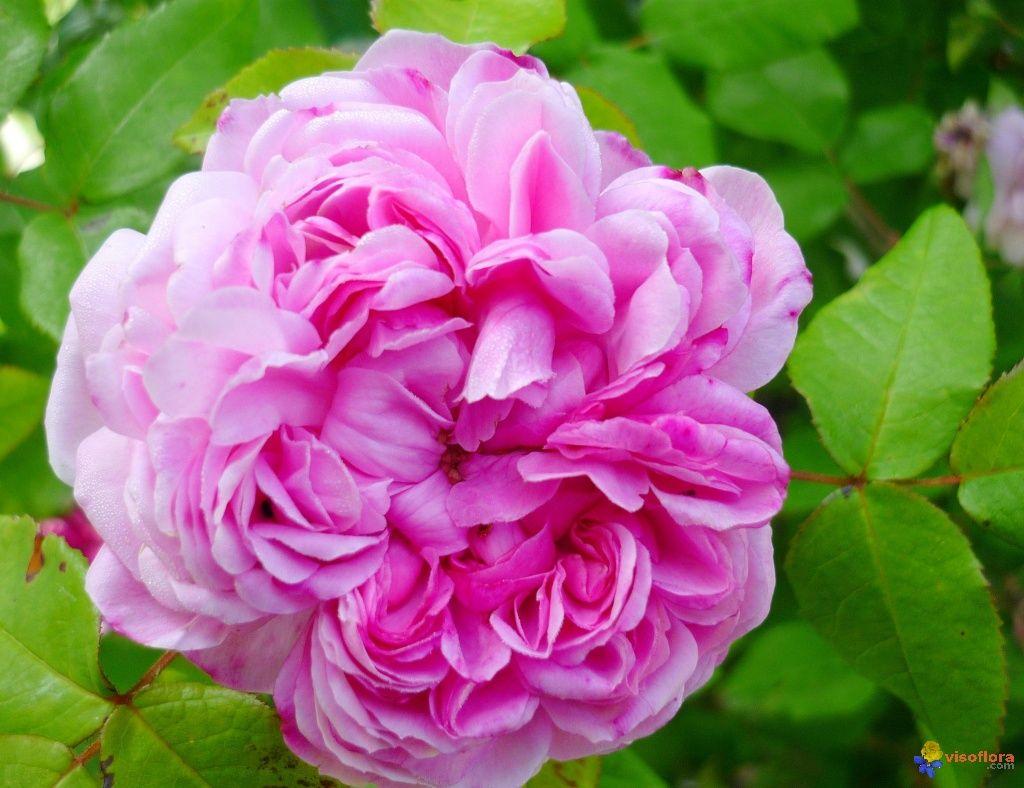 jacques cartier impossible de concevoir un jardin de roses anciennes sans ce rosier tr s. Black Bedroom Furniture Sets. Home Design Ideas