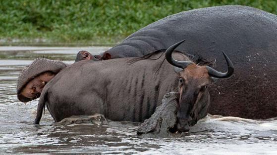 Flusspferd greift an