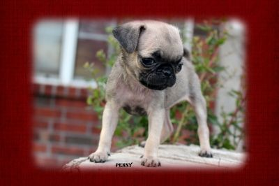 Fairytailpuppies Where Pets Are Family Too Penny Pets Pugs Dogs