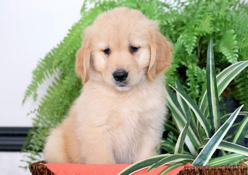 Golden Retriever Puppy For Sale In Mount Joy Pa Adn 71347 On