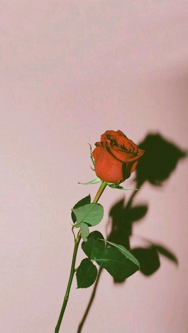 Red Rose Wallpaper Tumblr Lockscreen Iphone