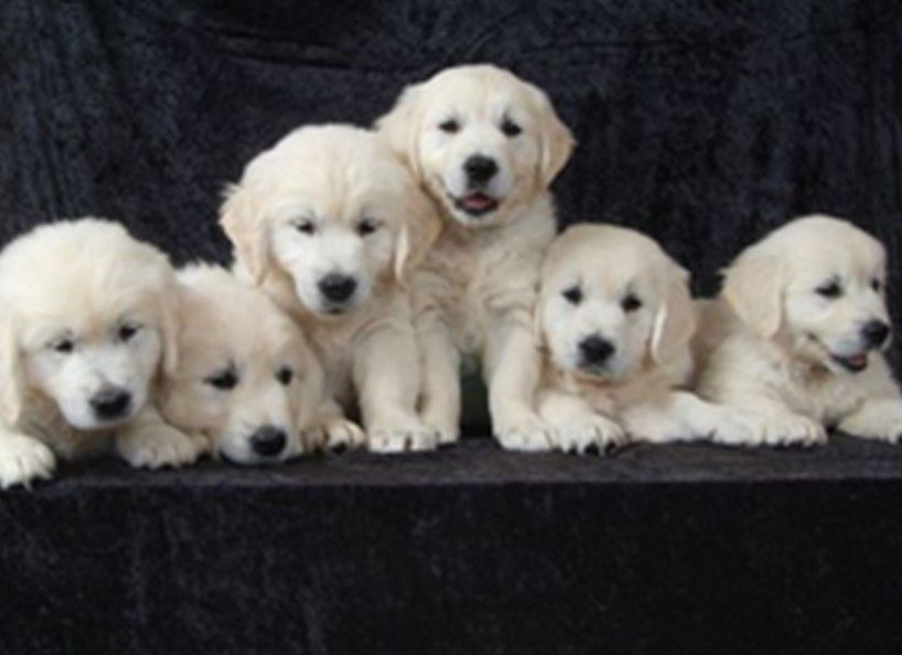 Pin By Mary Saum On Adorableness White Golden Retriever Puppy