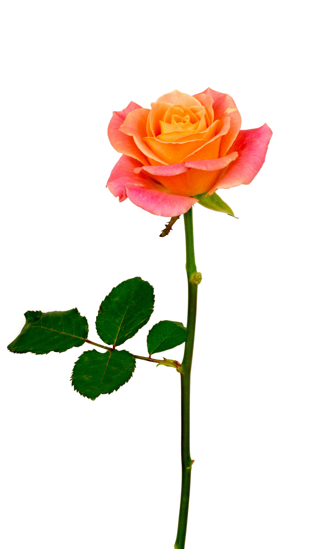 Pink Rose Flower Png Download Download Flower Pink Png Rose Rose Flower Png Orange Roses Pink Rose Flower