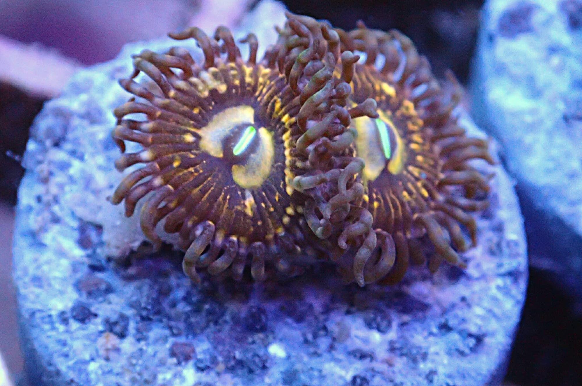 Golden People Eater 2 Polypen Korallen Gehilfe People