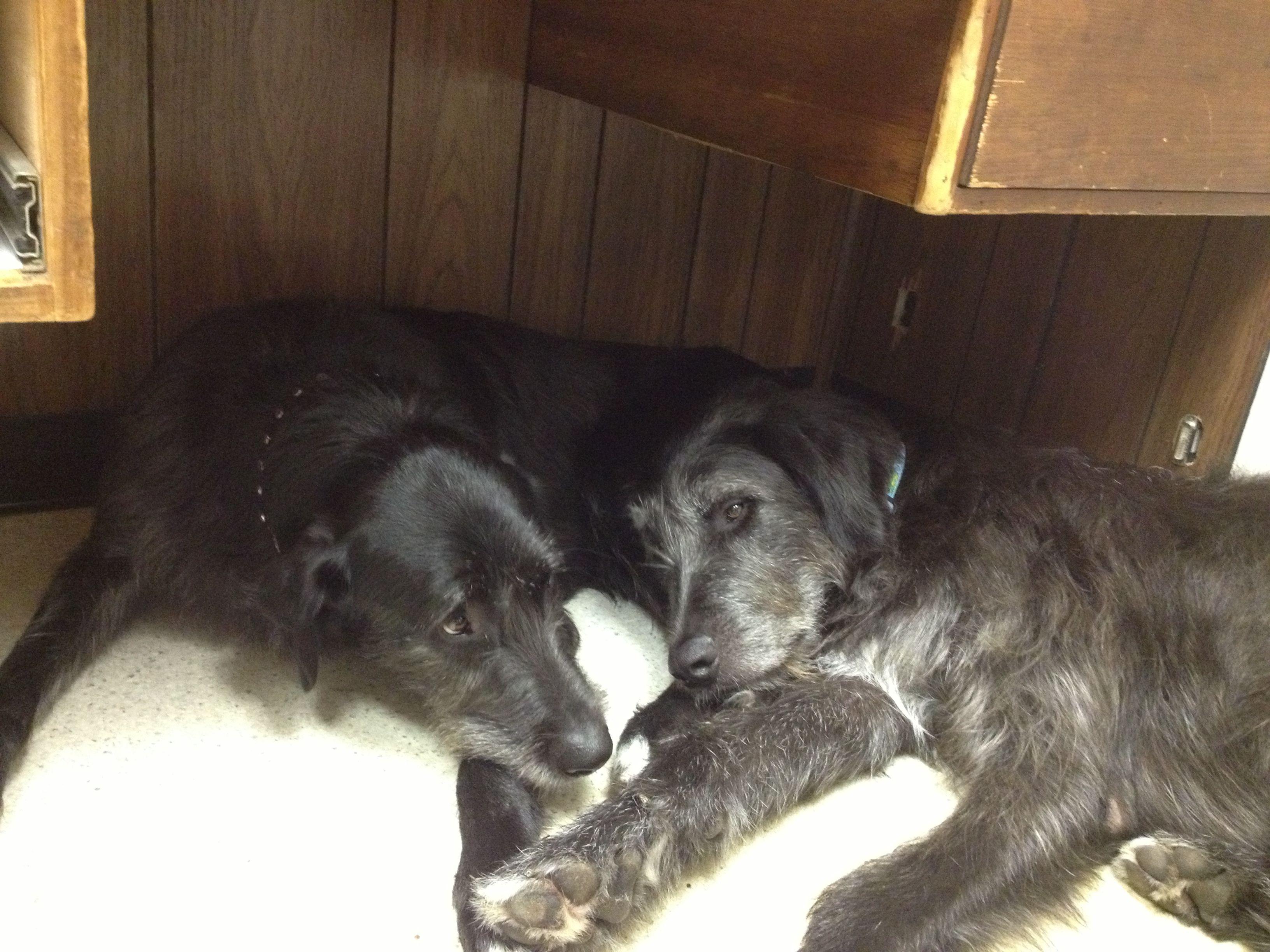 Pin By Bedford Greenwich Animal Hospi On Melissa S Wolfadors Irish Wolfhound Mix Irish Wolfhound Wolfhound