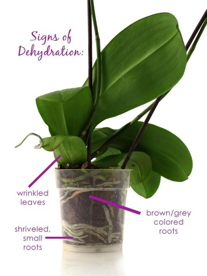 Orchid Tips Signs Of Under Watering