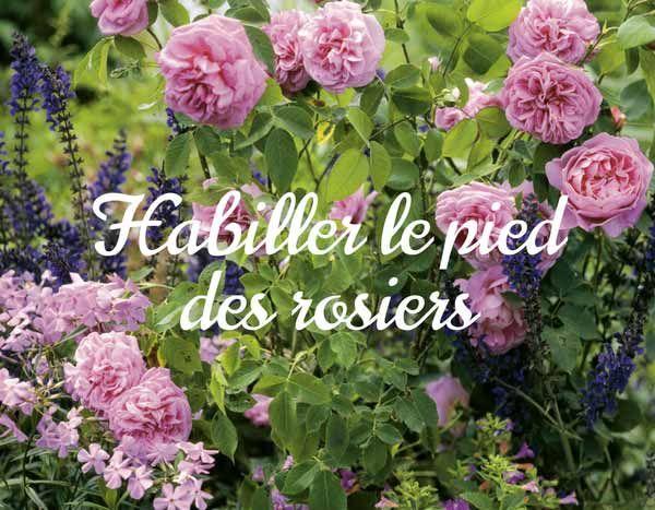 Au pied de mes rosiers vivaces couvre sol couvre sol et - Quand bouturer les rosiers ...
