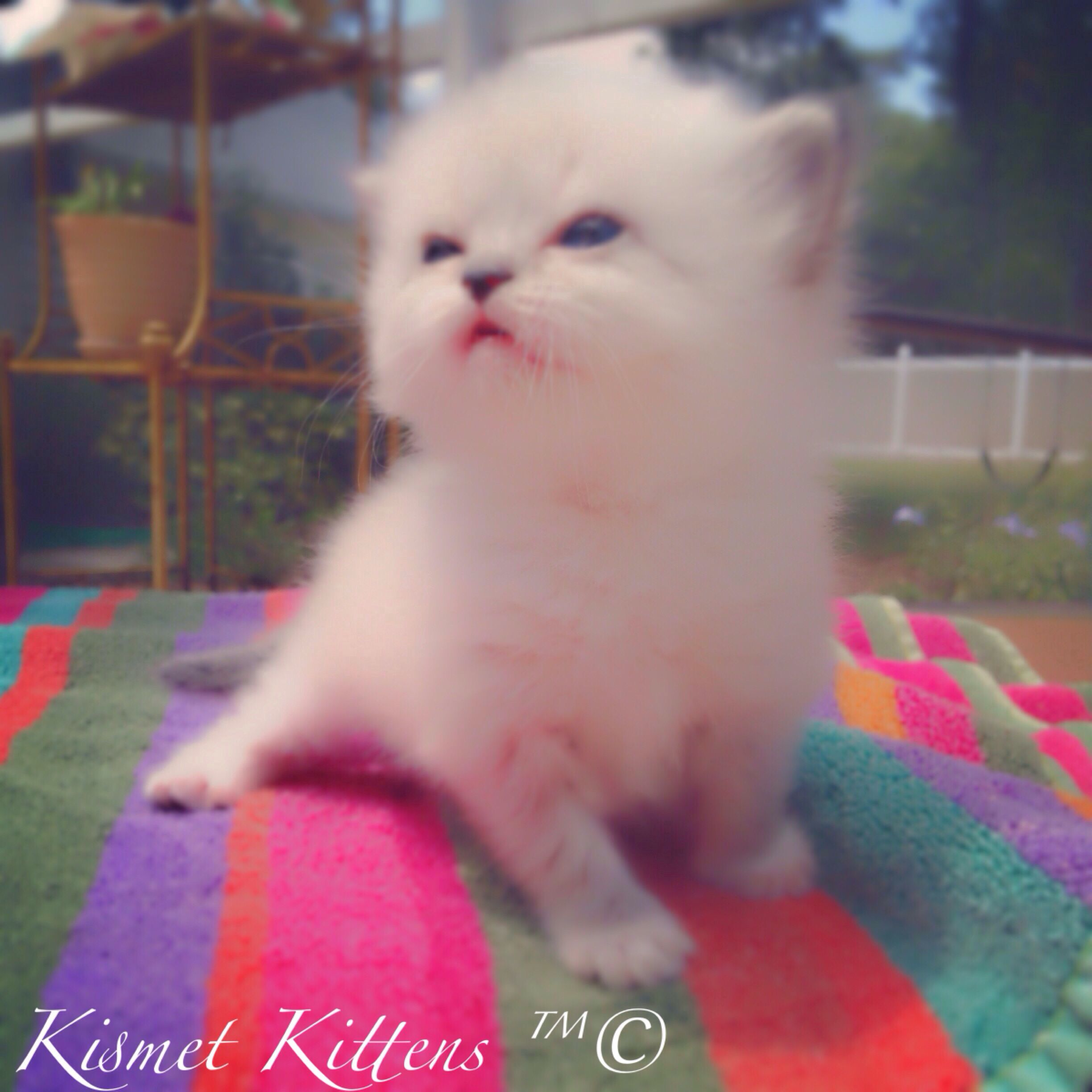 For Sale: Ex Small  ( Teacup ) Seal Point Doll Face Kitten with Blue Eyes Female Ready to go: 6/27/14 Shipping Avail. with a Prof. Animal Transporter Professional, Experienced, Ethical Breeder.  1 St Shots Vet Checked Health Certificate  1 Yr. Health Guarantee   To Reserve: Text: Persiankittyinfo@aol.com Text: 813-409-8418 Web: www.KismetKittens.com   #TeacupKittens, CatBreeders, #HymieKittens, #KittensBlueEyes, #PersiankittensForSale, #KittensFl