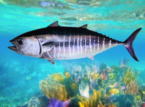 Bluefin Tuna Bluefin Tuna Fishing Bluefin Tuna Bluefin