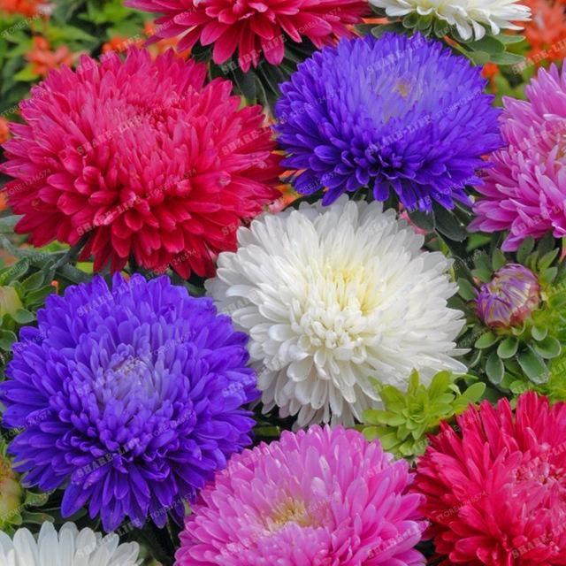 100pcs Cute Aster Chrysanthemum Seeds Callistephus Bonsai Plant Big Flower Seeds