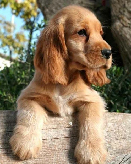 Adorable Cocker Spaniel Puppies Spaniel Puppies Cute Puppy Pictures