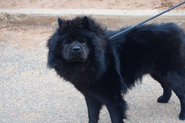 Bear A1095732 Dog Adoption Dogs