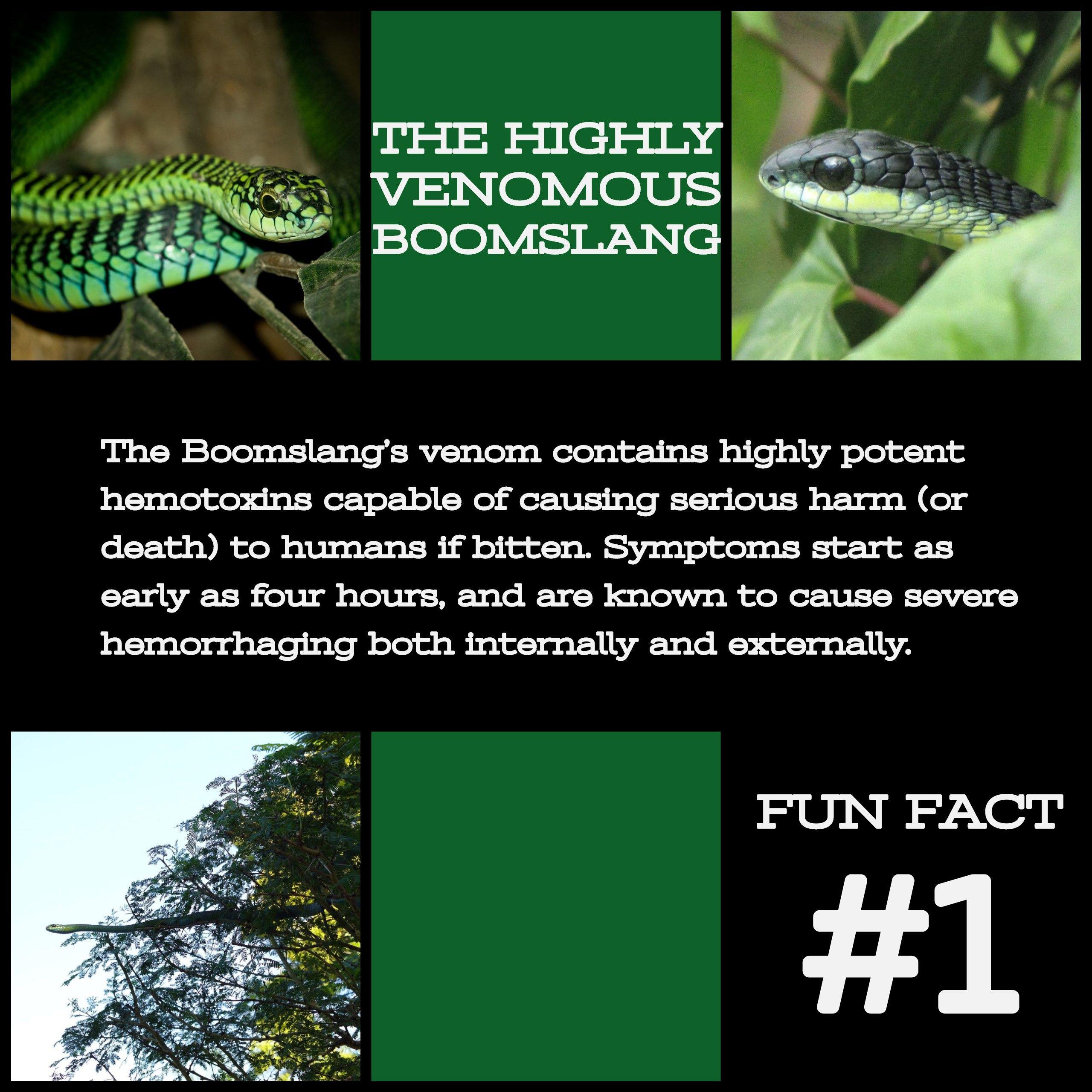 The Highly Venomous Boomslang The Highly Venomous Boomslang: Fun Facts.