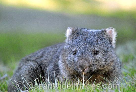 Common Wombat Vombatus Ursinus Cradle Mountain Tasmania