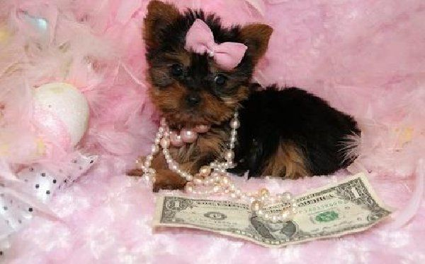 Teacup Yorkie Puppy For Sale In Texas Yorkshire Terrier Teacup Yorkshire Terrier Puppies Yorkie Puppy For Sale