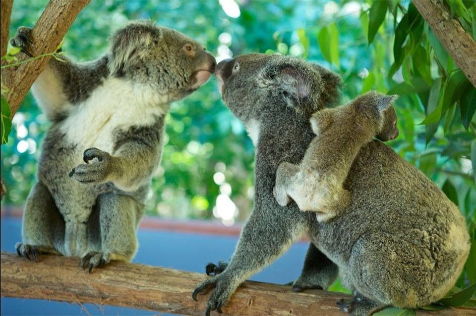Koala Love Tiere Australien Tiere Susse Tiere
