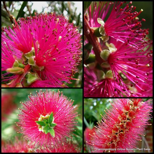 Candy Pink Bottle Brush Shrub - I want these everywhere, but didn't realize they came in pink...I have only seen the red ones!