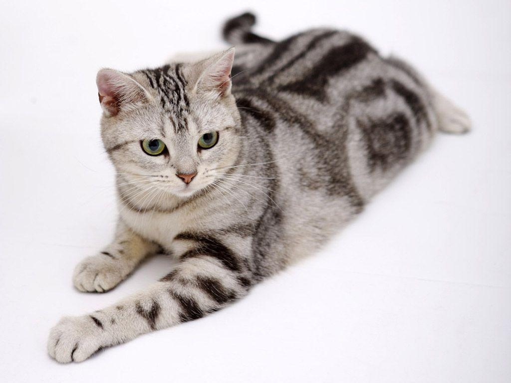 American Shorthair – Raças Felinas - Raças de Gatos - Guia Completo ...